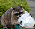 Raccoon control in New Jersey