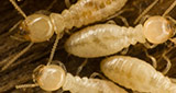 Pest control by Cowley's Termite and Pest Control in Mercer, Ocean, Monmouth, Middlesex County